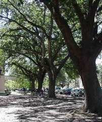[Picture of Oak Trees]
